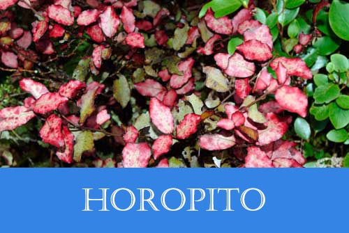 Horopito for candida overgrowth